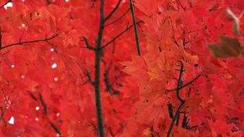 Baum des Herbstes rot lässt engen Schuss
