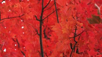 árbol de otoño hojas rojas tiro ajustado video