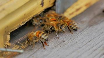 abejas en la entrada de la colmena closeup