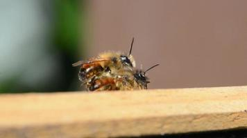 abelha selvagem osmia bicornis