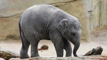 bebê elefante