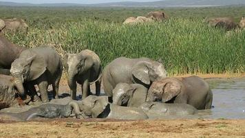 verspielte afrikanische Elefanten
