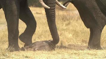 filmati incredibili di elefantino appena nato, Botswana