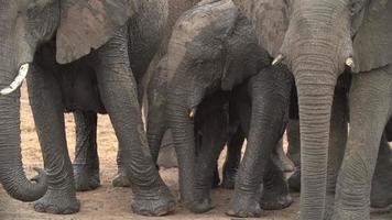 bebês elefantes cercados por uma manada protetora de adultos, botswana video