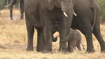 Imágenes increíbles del bebé elefante recién nacido que intenta mamar de su madre, botwana