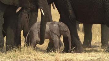 imagens incríveis do bebê elefante recém-nascido, botsuana video