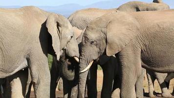 afrikanische Elefanten interagieren