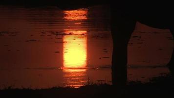 silueta de un elefante bebiendo en un río en el delta del okavango video
