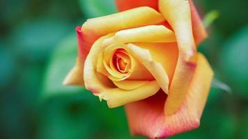 bella rosa gialla naturale sulla bella luce del mattino video