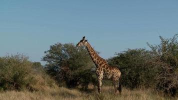 girafa caminhando