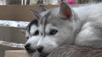 dos cachorros husky mirando a su alrededor