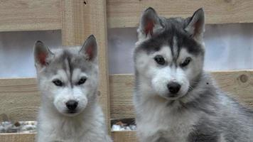 chiots husky moelleux