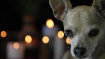 chihuahua regardant la caméra