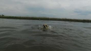 Chihuahua mit verängstigten Augen, die in Zeitlupe des Teiches schwimmen