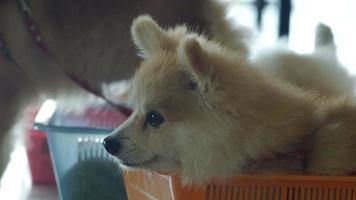 cane pomeranian alla ricerca di un altro cane