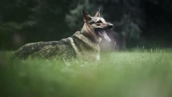 chien couché sur la pelouse verte.