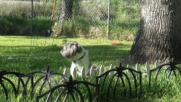 shih tsu ladrando en el jardín