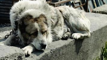 grote en soms boze hond video