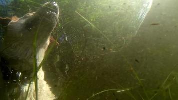 Ein Labradorhund schwimmt auf dem See video