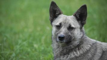 ritratto di cane grigio all'aperto
