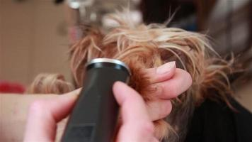 raspador processa as unhas do yorkshire terrier