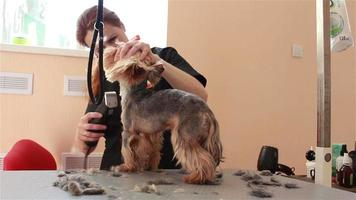 aliciamento do yorkshire terrier