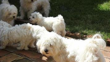 filhote de cachorro maltês