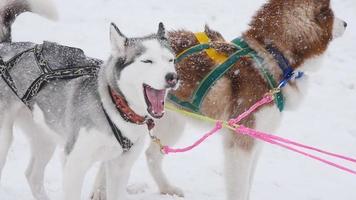 ein paar geschirrte Schlittenhunde bereit zum Start
