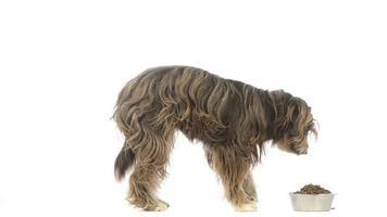 chien croisé manger