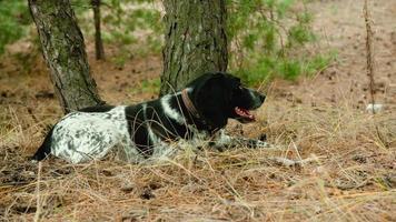 perro manchado descansa bajo el tronco de pino