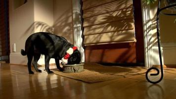 pug navideño come la cena - hd