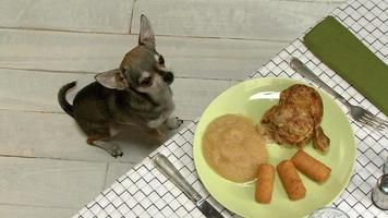jovem chihuahua olhando para um prato de frango