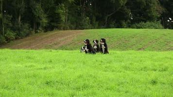 perros de montaña bernés corriendo