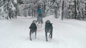 Schlittenhunde rasen den schneebedeckten Pfad hinunter