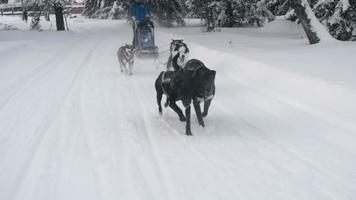 Dos Schlittenteam läuft den schneebedeckten Pfad hinunter