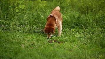Hund Shiba Inu sucht etwas