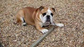 bulldog inglese che morde video hd