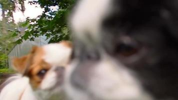 Japanse kin honden close-up rollende focus