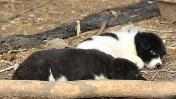 due cuccioli di riposo