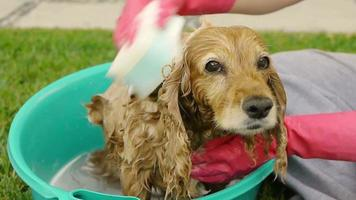 Dog Shivering while Bathing (HD) video