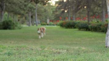 cane corre attraverso il parco video