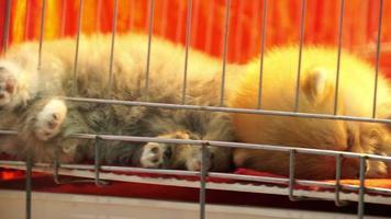 süße pommersche Welpen, die in einem Käfig schlafen
