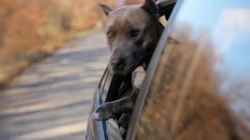 cachorro engraçado olhando pela janela do carro