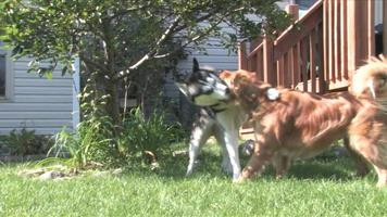 cachorros brincando video