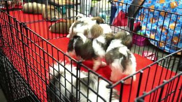 lindos cachorros de shih tzu jugando dentro de una jaula video