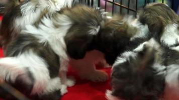 lindos cachorros de shih tzu jugando dentro de una jaula