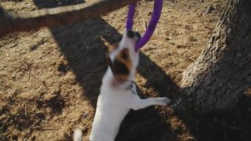 jack russell terrier che gioca con il suo giocattolo