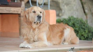 bellissimo golden retriever