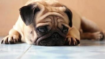 primer plano, lindo, perro pug, en el piso