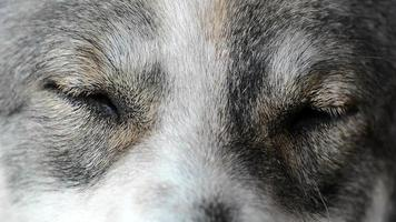 Close up of dogs face, eyes. 1080p